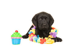 Cute black labrador puppy dog lying down with garland and cup cake Royalty Free Stock Photos