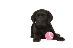 Cute black labrador puppy dog lying down with a pink ball Royalty Free Stock Photo