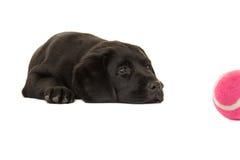 Cute black labrador puppy dog lying down staring at a pink ball Stock Photo