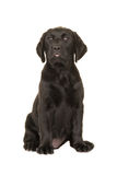 Cute black labrador puppy dog sitting down facing the camera Stock Photo