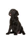 Cute black labrador puppy dog sitting down looking up with mouth open Stock Image
