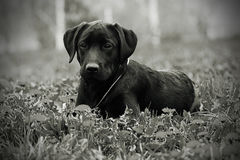 Cute black Labrador puppy lying in the Park in the summer. Black-and-white photo Stock Image