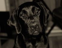 Cute black Labrador puppy. (in sepia, retro style, with focus on the nose Stock Photo