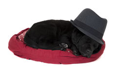 Cute  black labrador puppy sleeping wearing a black hat Stock Photo
