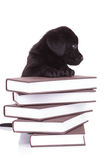 Labrador retriever standing with its paws on a pile of books Stock Photography