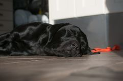 Cute Black Labrador Sleeping On Sunny Foor. Beautiful shiny dog fast asleep in the sunshine after a long play in the garden. His collar is off eyes closed very stock photography