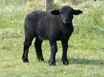Cute black lamb Royalty Free Stock Image