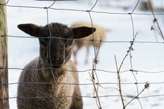 Cute black lamb fenced in stock photos
