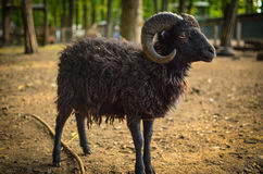 Cute black lamb with horns Royalty Free Stock Photo