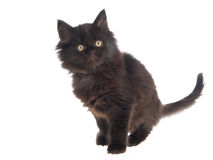 Cute black Maine Coon kitten on white bg Royalty Free Stock Photos