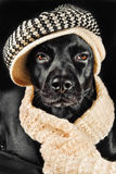 Cute black mutt. Cute mutt wearing a vintage hat and a shawl Stock Image