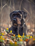 Cute black mutt dog with funny face. Royalty Free Stock Photos