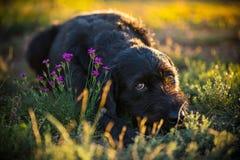 Cute black mutt dog on spring meadow. Stock Photos