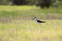 Cute black necked stilt. Stock Photo