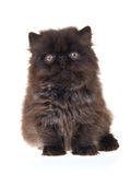 Cute black Persian, on white background Royalty Free Stock Photography