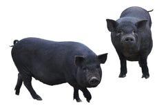 Cute black pigs. stock photo