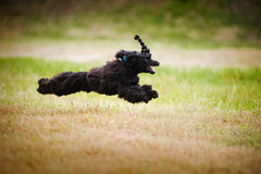Cute black poodle dog running. Cute funny black poodle dog running on the grass Royalty Free Stock Image