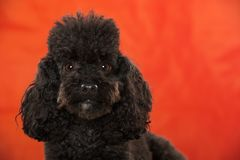 Cute black poodle on red background royalty free stock photo