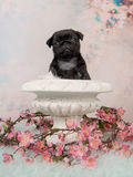 Cute black pug puppy in a white flowerpot with pink flowers on a romantic background. Cute black pug puppy in a white flowerpot with pink flowers on a romantic Stock Images