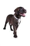 Cute black puppy Royalty Free Stock Photo