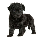 Cute Black Puppy Stock Images