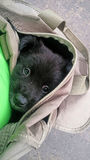 Cute black puppy in cloth bag Stock Photography