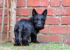 Cute black puppy dog standing by red brick wall. royalty free stock photos