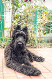 Cute black puppy. Funny cute puppy Schnauzer. Intelligent and inquisitive companion dog royalty free stock photos