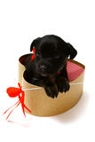 Cute black puppy in a gift box in the shape of a heart Royalty Free Stock Photo