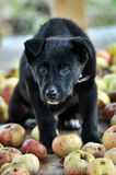 Cute black puppy Royalty Free Stock Photo