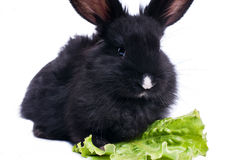 Cute black rabbit eating green salad Royalty Free Stock Images