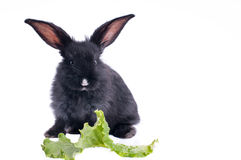 Cute black rabbit eating green salad Stock Images