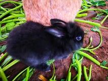Cute black rabbit 01 stock photos