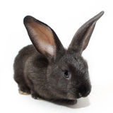 Cute black rabbit Royalty Free Stock Images