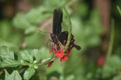 Adorable swallowtail butterfly with red and black wings. Cute black and red butterfly about to land on a flower royalty free stock photo