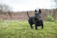 Cute black Scottish Terrier dog on green grass stock photography