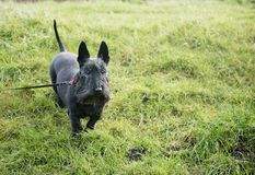 Cute black Scottish Terrier dog on green grass. Taken with copy space Stock Photo