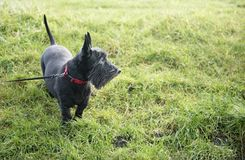 Cute black Scottish terrier in the park stock images