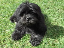 Cute black shaggy dog royalty free stock photos
