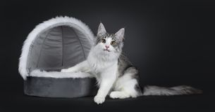 Cute black silver bicolor spotted tabby Norwegian Forest cat kitten on white. Cute black silver bicolor spotted tabby Norwegian Forest cat kitten, sitting stock photography