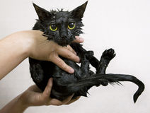 Cute black soggy cat after a bath. Funny little demon Stock Photos