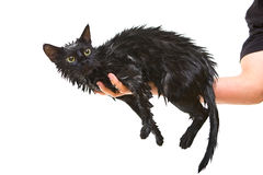 Cute black soggy cat after a bath Stock Images