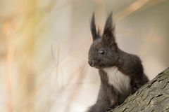 Cute black squirrell. Stock Image