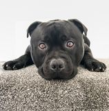 Cute black staffordshire bull terrier dog lying on the top stair with carpet. Royalty Free Stock Images