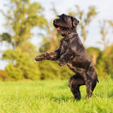 Cute black standard schnauzer stands up royalty free stock photos
