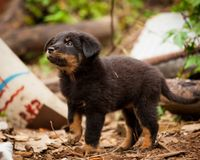 Cute black stray dog puppy Royalty Free Stock Images