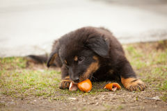 Cute black stray puppy eating Stock Photography
