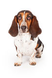 Cute Black and Tan Basset Hound Dog Royalty Free Stock Images