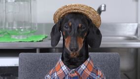 Cute black and tan dachshund wearing checkered farmer shirt and straw hat chews something tasty, with pleased face