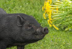 Cute black vietnamese pig Stock Images